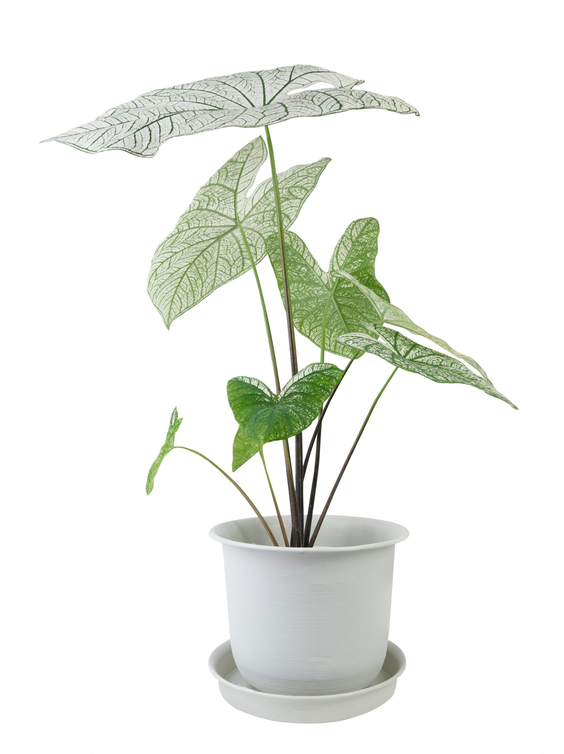 Beautiful Caladium Bicolor Vent,Araceae,Angel wings houseplants  in modern white pot isolated on white background